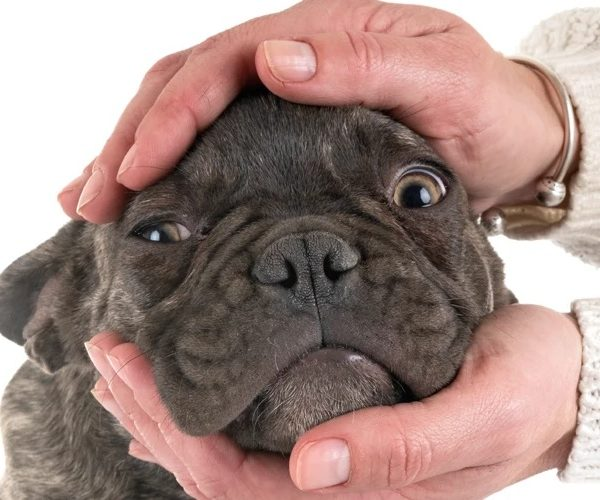 French bulldog: a great companion dog
